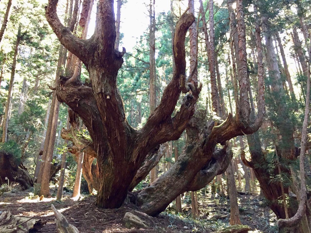 板取巨大株杉