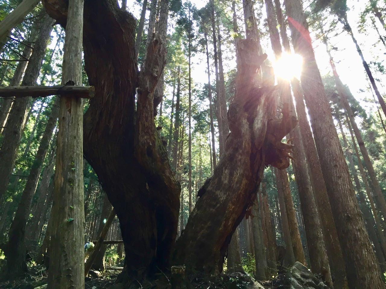 21世紀の森公園内の株杉