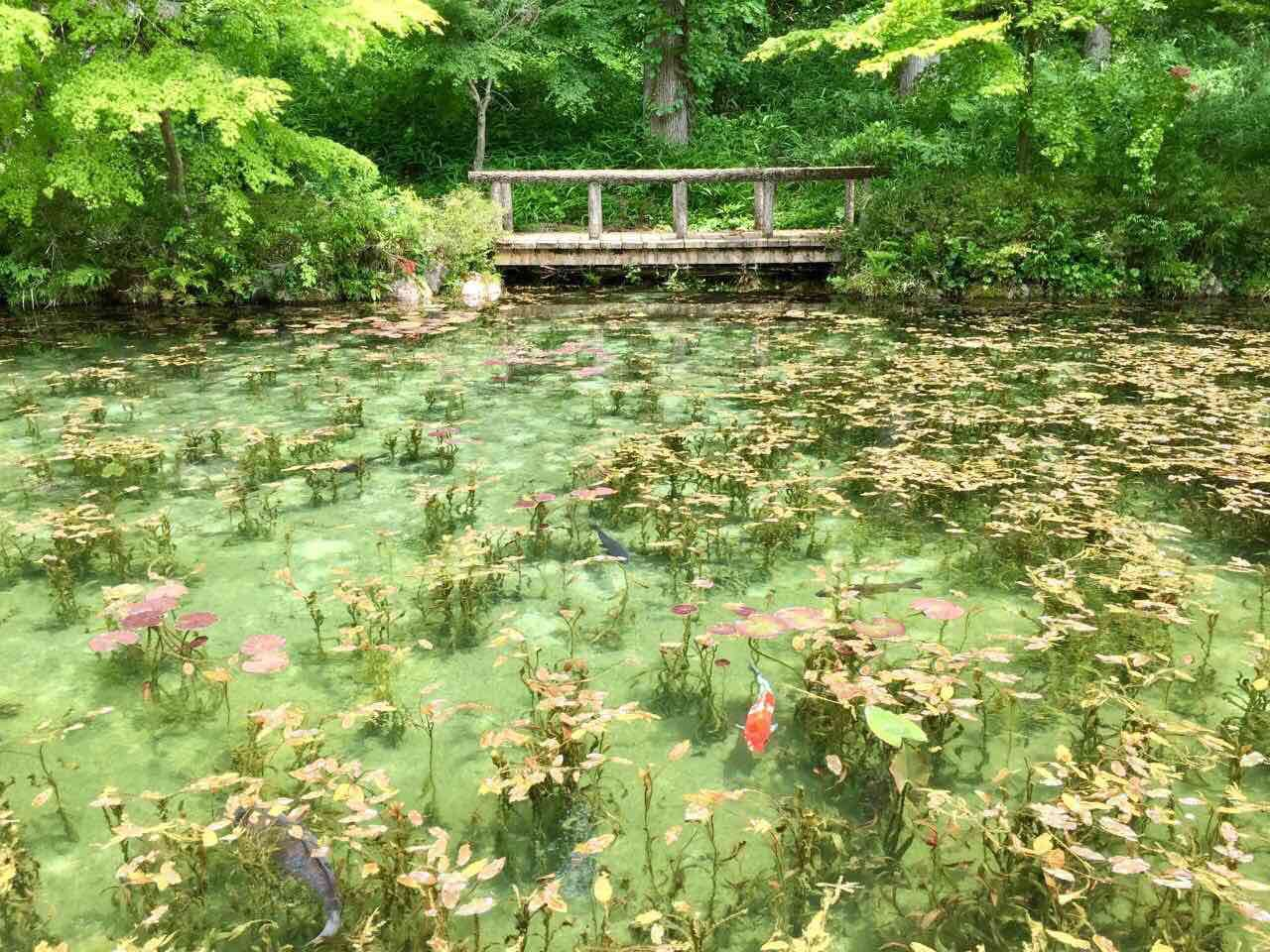 板取モネの池きれい