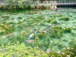 モネの池の銀の鯉