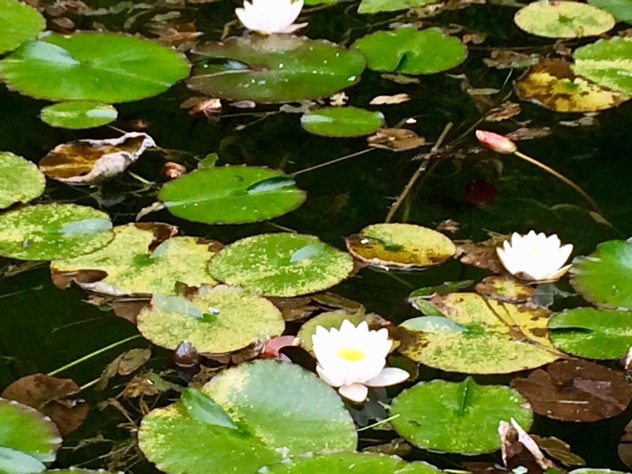 モネの池の蓮アップ