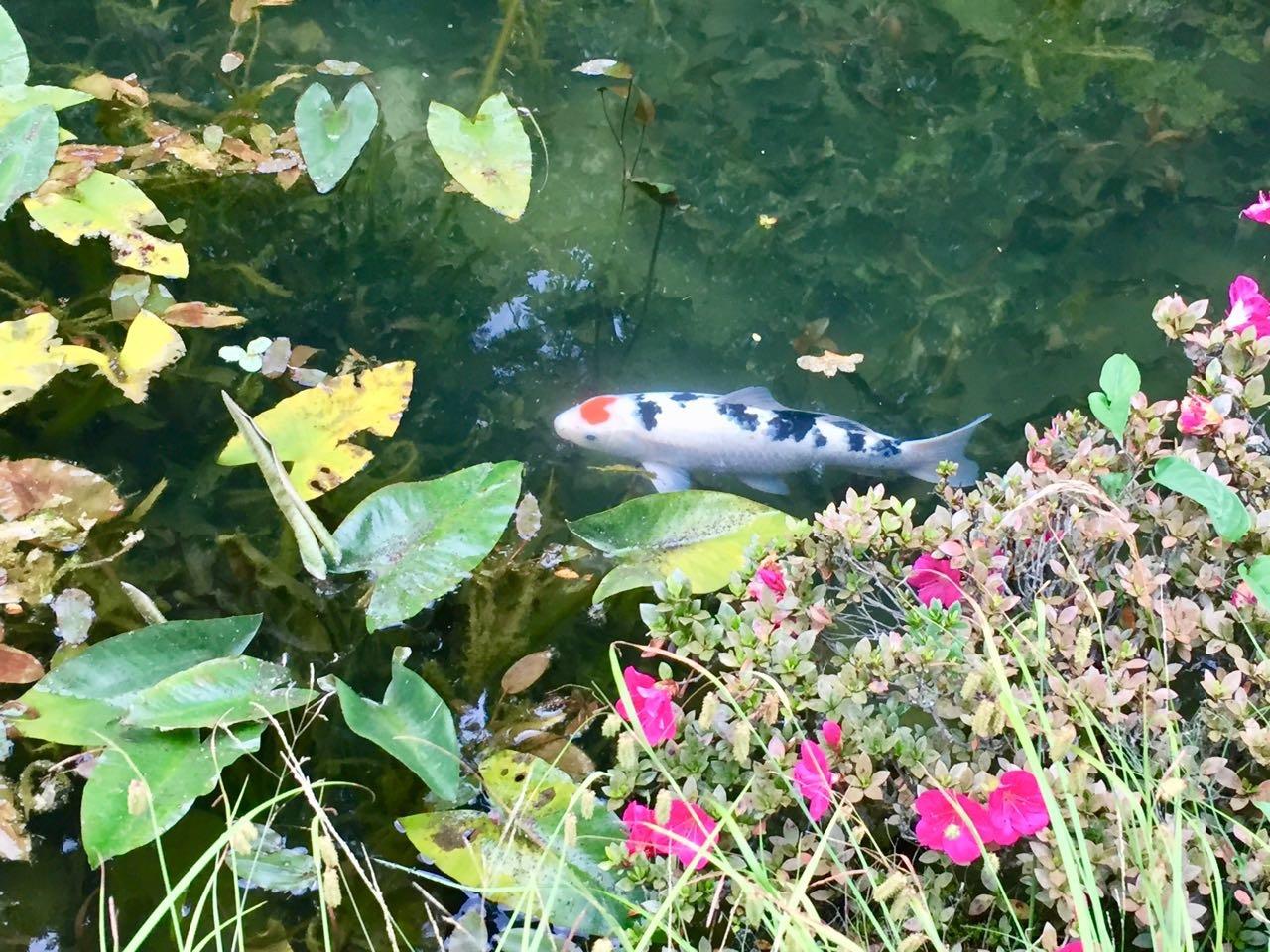 モネの池ハートの鯉アップ